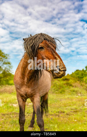 Animal portrait of head-on brown wild pony chewing on grass. - Stock Image