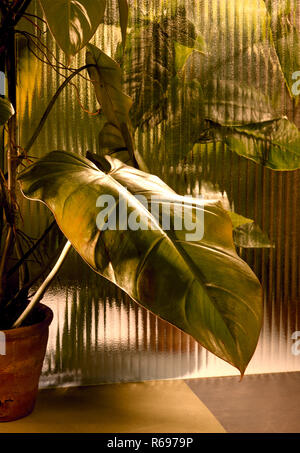 Pilodendron house plant still life - Stock Image