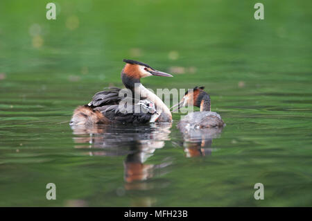 Great Crested Grebe pair, (Podiceps cristatus), parent bird carrying a single chick on its back, Regents Park, London, Briitish Isles, UK - Stock Image