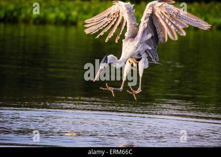 Cocoi Heron or White-necked Heron, Ardea cocoi, descending to catch a fish in a river in the Pantanal, Mato Grosso, - Stock Image