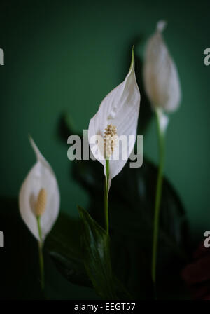 peace lily - Stock Image