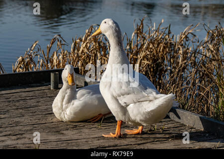 White heavy ducks - American Pekin also known as the Aylesbury or Long Island duck relaxing in twilight dusk low level winter sunlight - Stock Image