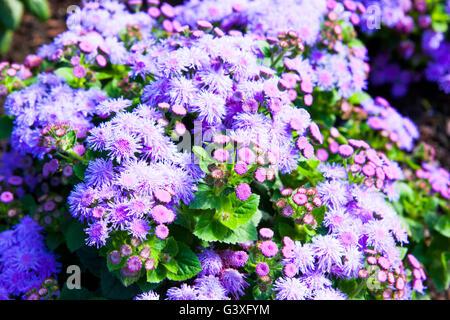 Purple ageratum - Stock Image