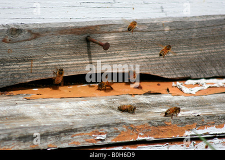 Bees buzzing around the entrance of a wood box hive. - Stock Image