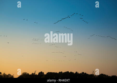 Birds flying in sky at sunset - Stock Image