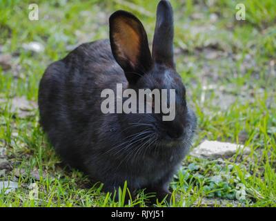 Black bunny in grass - Stock Image