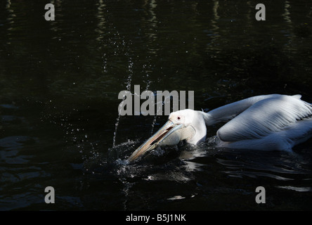 USA. Stock photo of a White Pelican catching fish. - Stock Image