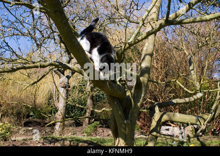 black and white tom cat jumping down from a tree - Stock Image