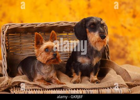Yorkshire Terrier and Miniature Wirehaired Dachshund|Yorkshire Terrier und Zwergrauhaardackel - Stock Image