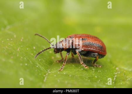 Hawthorn Leaf Beetle (Lochmaea crataegi) on hawthorn leaf. Tipperary, Ireland - Stock Image