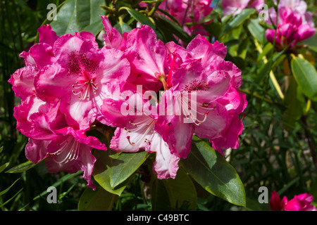 Vibrant rhododendron blooming in english country garden. - Stock Image