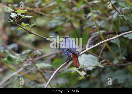 Plumbeous Water Redstart, Phoenicurus fulignosus, male in waterside shrubbery - Stock Image