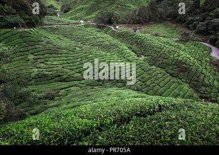 Tea plantation in Cameron Highlands, Malaysia - Stock Image
