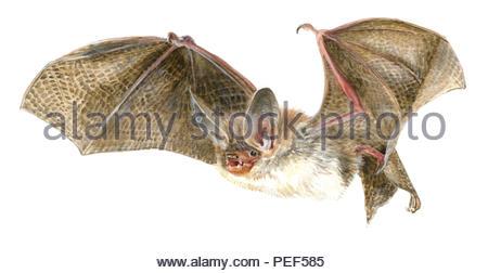 beetle bat myotis bechsteinii - Stock Image