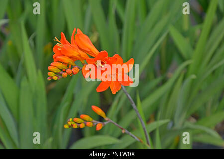 Close up of a Crocosmia 'Okavango' in a flower border - Stock Image