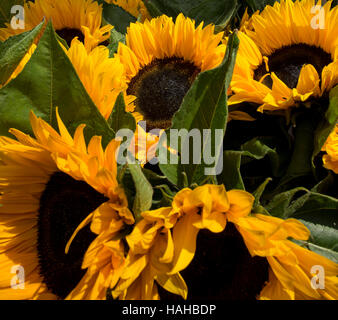 Sunflowers ready for sale in Columbia Road flower market in London - Stock Image