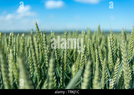 Close up of green wheat field - Stock Image