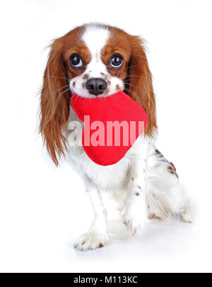 Valentines day photo. Dog with hear. Puppy with plush sof heart. Valentine's day spaniel. Puppy love. Cute king - Stock Image