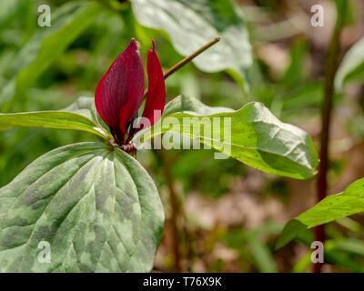Prairie Trillium (Trillium recurvatum). - Stock Image
