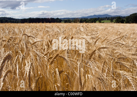 Barley field at harvest time - Stock Image