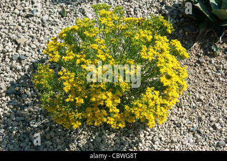 Broom Snakeweed, Perennial Matchweed, European Pear (Gutierrezia sarothrae), flowering plant. - Stock Image