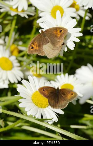 Pyronia tithonus, Gatekeeper or Hedge Brown butterflies mating on Ox eye Daiisy, Leucanthemum vulgare flowers with additional attendant male, Wales UK - Stock Image