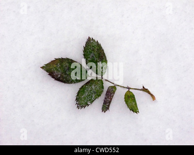 Icy leaf on snow - Stock Image