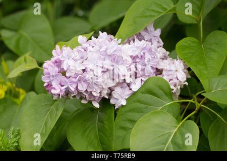 Syringa vulgaris 'P.P. Konchalovskii' flowers. - Stock Image