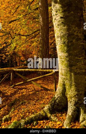 Umbra Forest, Gargano National Park, Apulia, Italy - Stock Image