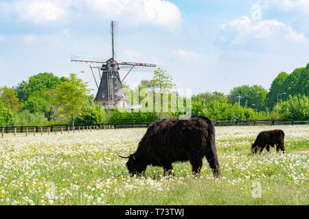Countryside landscape with black scottish cow angus, pasture with wild flowers and traditional Dutch wind mill. - Stock Image