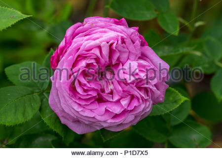 A pink pale red very fragrant double rose, variety unknown. - Stock Image