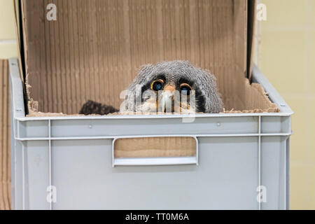Six-weeks old Verreaux's eagle-owl / milky eagle owl / giant eagle owl (Bubo lacteus), owlet in plastic box, hatched in captivity in zoo - Stock Image