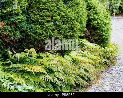 Green evergreen foliage of the Japanese cedar, Cryptomeria japonica 'Vilmoriniana', underplanted with the hardy maidenhair fern, Adiantum venustum - Stock Image