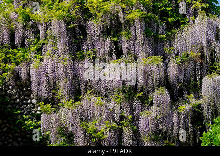 flowering wisteria flowers on house wall exterior, north norfolk, england - Stock Image
