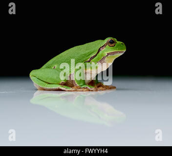 Close up of european tree frog (Hyla arborea) sitting on a a reflecting white plate with black background - Stock Image