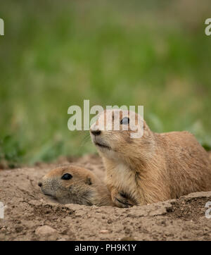 Prairie Dogs Stick Heads Out of Mound in Black Hills - Stock Image