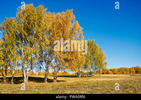 Birch trees with golden yellow foliage in autumn. Bitsevski Park (Bitsa Park), Moscow, Russia. - Stock Image