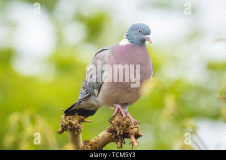Close-up of a wood pigeon, columba palumbus, perched in a tree during spring season - Stock Image
