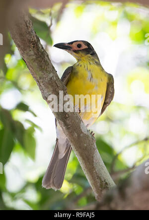 Immature male Yellow Figbird, Northern Race (Sphecotheres flaviventris), Lake Tinaroo, Atherton Tableland,  Far North Queensland, FNQ, QLD, Australia - Stock Image