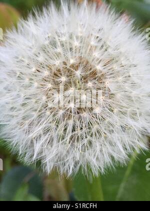 Dandelion close up - Stock Image