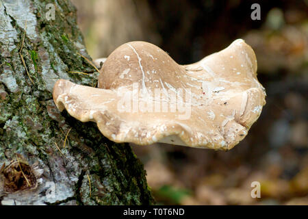 Birch Polypore (probably piptoporus betulinus) growing out of an old birch tree. - Stock Image