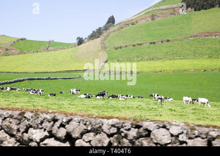 Black and White cows grazing in a field in The Azores - Stock Image