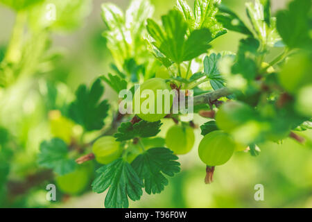 Green ripe sweet gooseberry on the branches of a bush in the garden - Stock Image
