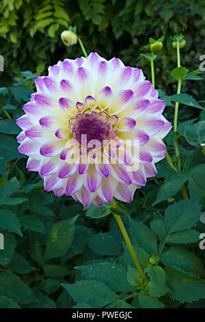 Closeup of single white and purple 'Formby Art' Dahlia flower, England, UK - Stock Image