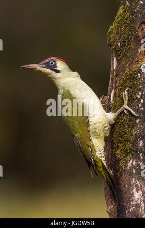 Green woodpecker, Picus viridis young female, Grünspecht (Picus viridis) junges Weibchen - Stock Image
