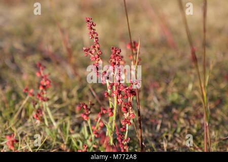 Moorland Heather - Calluna Vulgaris - Stock Image
