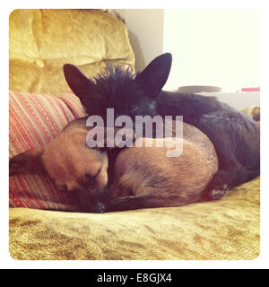 Two puppy dogs sleeping on a couch in living room - Stock Image