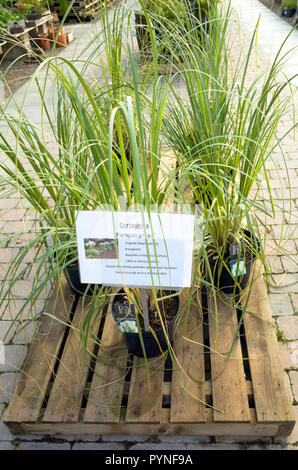 Pampas  Grass Cortadera for sale in a UK garden centre - Stock Image