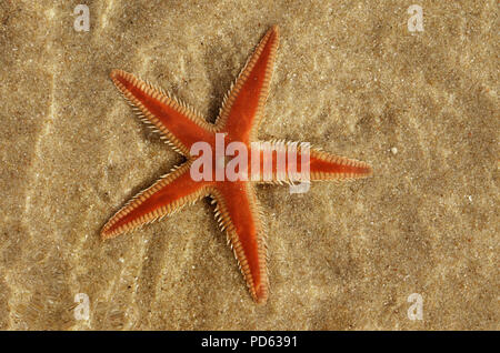 Orange Comb Starfish (Astropecten sp.) overview over the sand and under a layer of clear water. Water distortion. Lagoa de Albufeira beach, Setubal, P - Stock Image