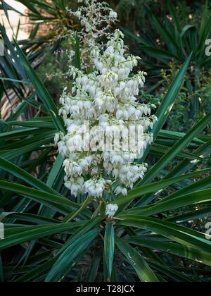 Yucca Elephantipes in Bloom. Málaga, Spain. - Stock Image